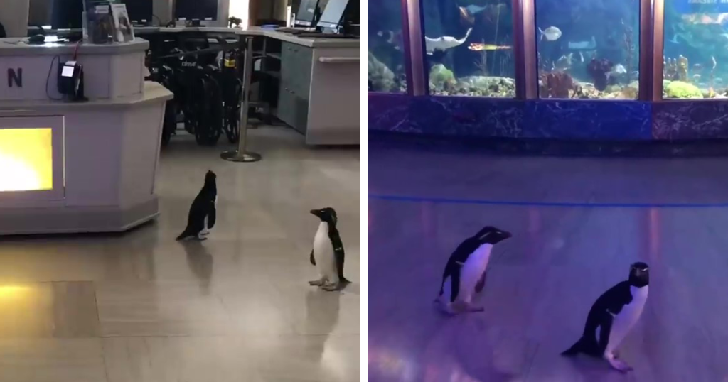 Virtual Museums- Penguins at Shedd Aquarioum